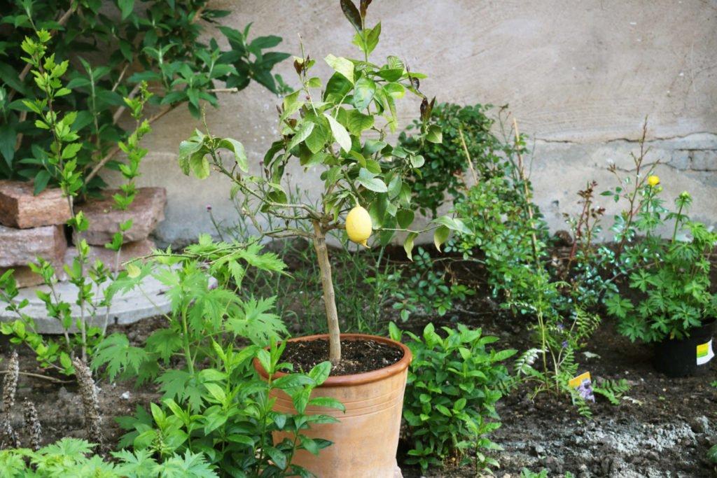 Citronträd